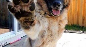 German Shepherd salute