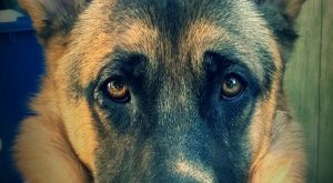 The German Shepherd ==> visit for cool gifts for GSD lovers