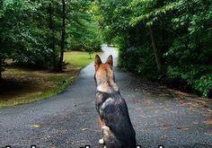 German Shepherd truth