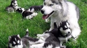 husky and her puppies