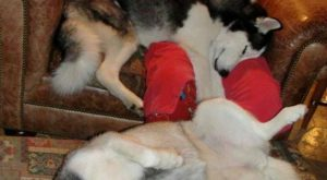 "Snuggie with a #Husky explore Pinterest""> #Husky!"