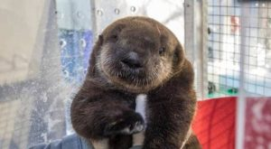 "Sea Otter Pup Rescued Off California Coast #funnydogvideos explore Pinterest""> #f..."