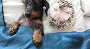 Dachshund dog Maya and the hedgehog Minnie are pictured relaxing in their home in…