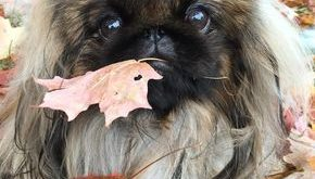 best photos, pictures and images about pekingese dog – oldest dog breeds #bestdogbre...