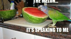 funny parakeet | bird parrot budgie talking water melon funny pics pictures pic picture…...