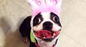 Funny Bosties – Captions and Memes | Boston Terrier Friendzy