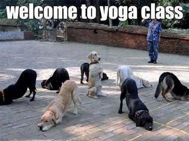 """Welcome To Yoga Class : DOGS – Also Known As """"Doga"""" – Funny Animal..."""