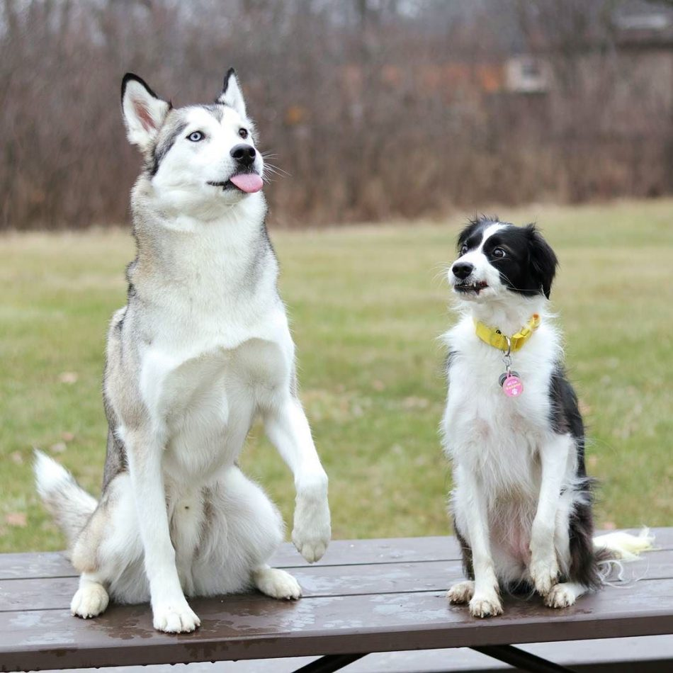 "Caption this!! With @siberiankoda #husky explore Pinterest""> #husky #huskygram se..."