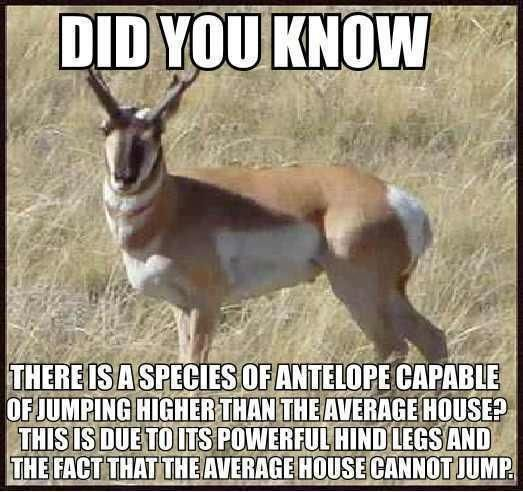 Did You Know That There Is A Species Of Antelope That Can Jump Higher…