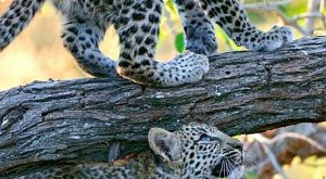 "Beautiful leopard cubs #BigCatFamily explore Pinterest""> #BigCatFamily"