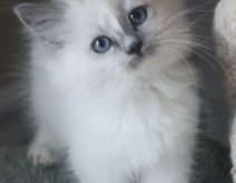 Blue mitted ragdoll kitten with white blaze Tap the link for an awesome selection…