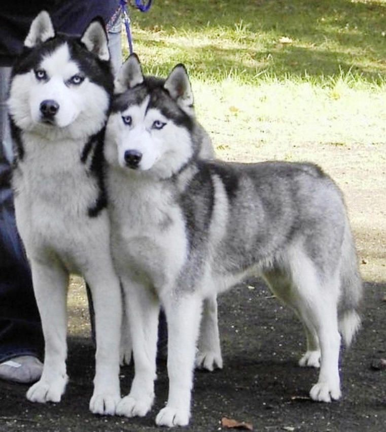 Cute Puppies Pictures, Puppy Photos: Cute Siberian Husky Puppies … #siberianhusky ex...