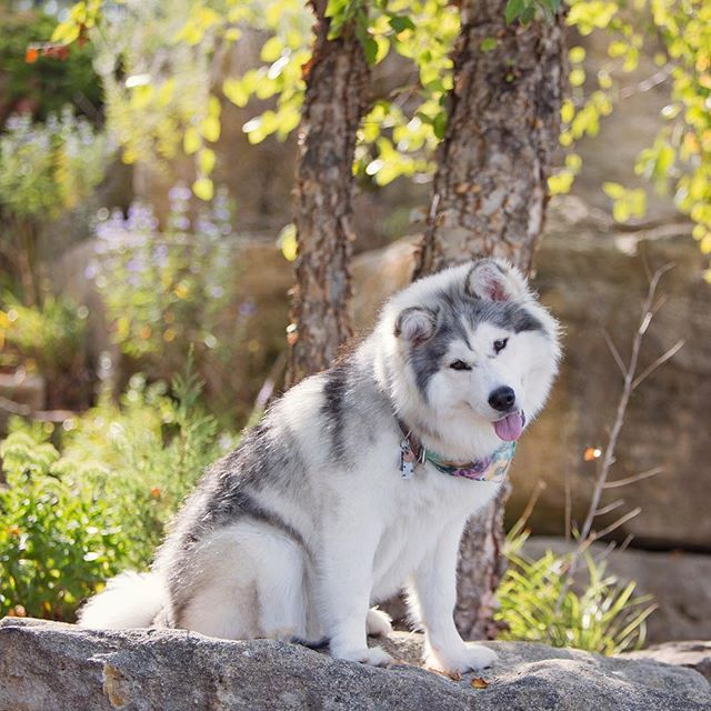 """Happy #tongueouttuesday explore Pinterest""""> #tongueouttuesday Huskies On Instagram, ..."""