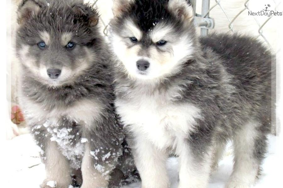 Meet BLUE COAT a cute Wolf Hybrid puppy for sale for $700. RARE BLUE…