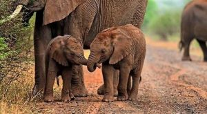 This photo of two baby African elephants, holding trunks is a great example of…