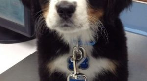 Bernese Mountain Puppy dog-cuteness-and-other-mini-buddhas