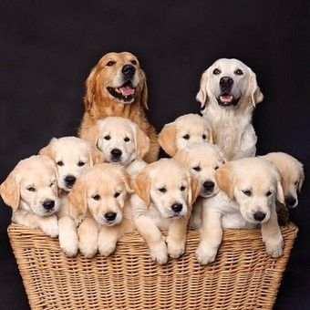 Mom and dad golden retriever dogs with their puppies