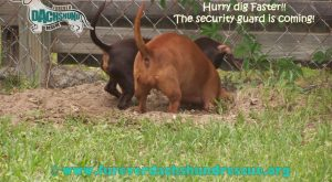 Funny Dachshund Pictures with Captions | April 2011 FaceBook Caption us on FaceBook!
