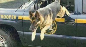 German Shepherd K9 Police Officer & Hero! May God Protect & Bless you cutie!
