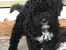 Portuguese Water Dog- our 2nd pup I want badly!!!! Just gotta talk Kev into…
