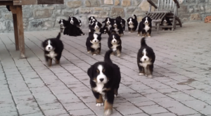 There's really nothing like eighteen Bernese mountain dog puppies running towards you to...