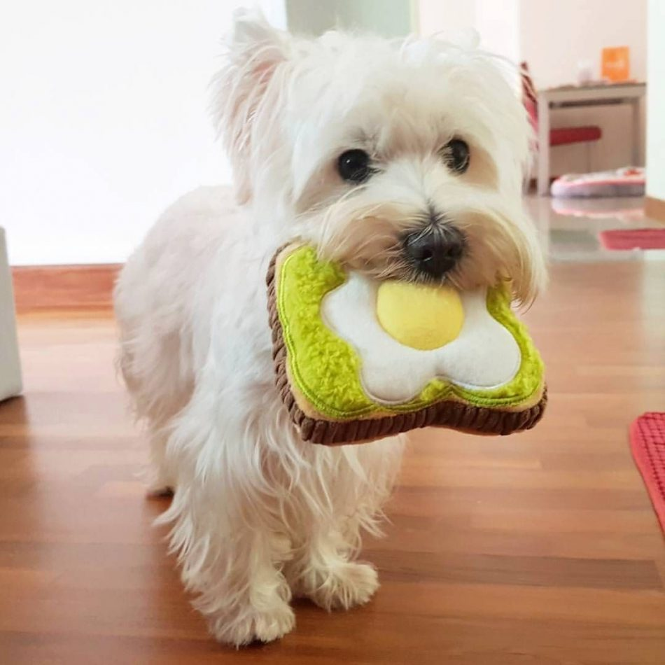 Flawless 22 Best Westie Dog Pictures Our puppies are raised in big pens below…