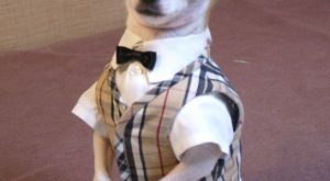 "Dapper chihuahua- Montjiro, a #dog explore Pinterest""> #dog fashion model. He mod..."