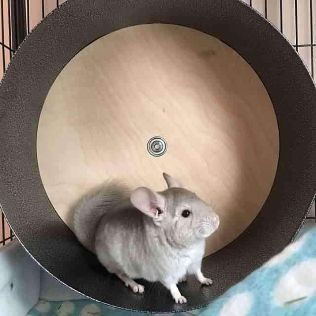 "Chin Spin 15″ Chinchilla Exercise Wheel #funnydogpictures explore Pinterest""&g..."