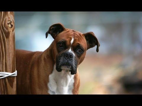 Funny Boxer Dog Video Compilation 2017 – Funny Dogs Videos – YouTube #funnydog...