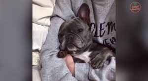 "#virals explore Pinterest""> #virals Funniest & Cutest French Bulldog puppies ..."