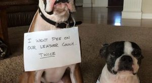 "#dogshaming explore Pinterest""> #dogshaming #funnydogshaming explore Pinterest&#8..."