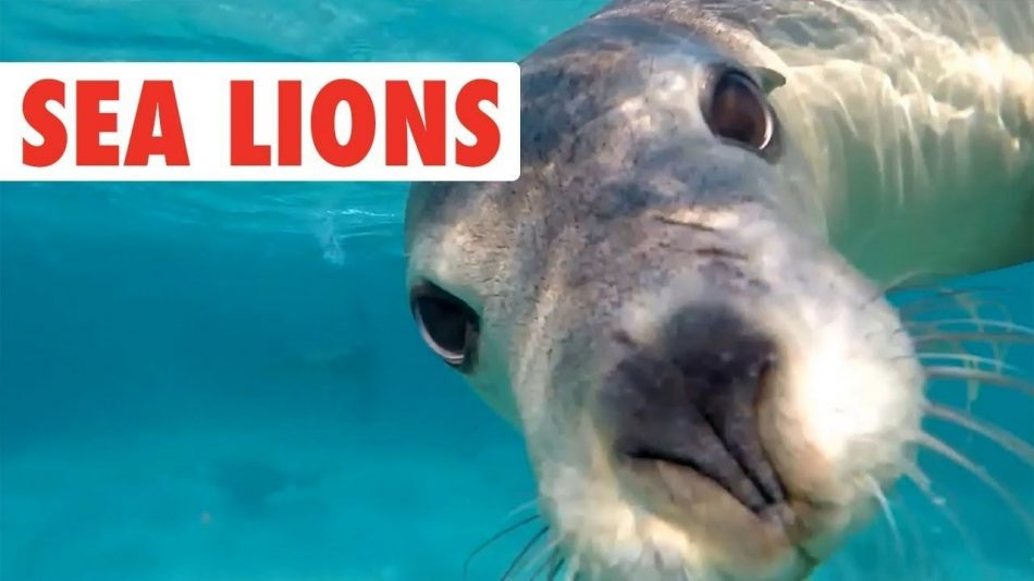 "Funny Sea Lion/Seal Video Compilation | Dogs of the Sea / #Funny explore Pinterest""&..."