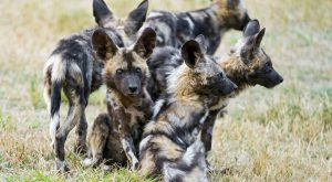 | A bunch of young wild dogs | A few cute young wild dogs…