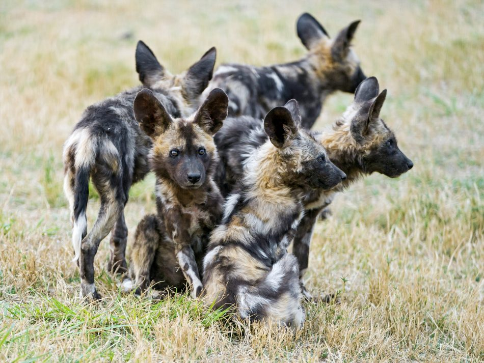   A bunch of young wild dogs   A few cute young wild dogs…