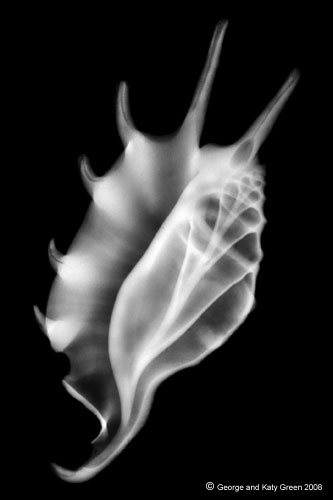X-RAY Photo of a Spider Conch