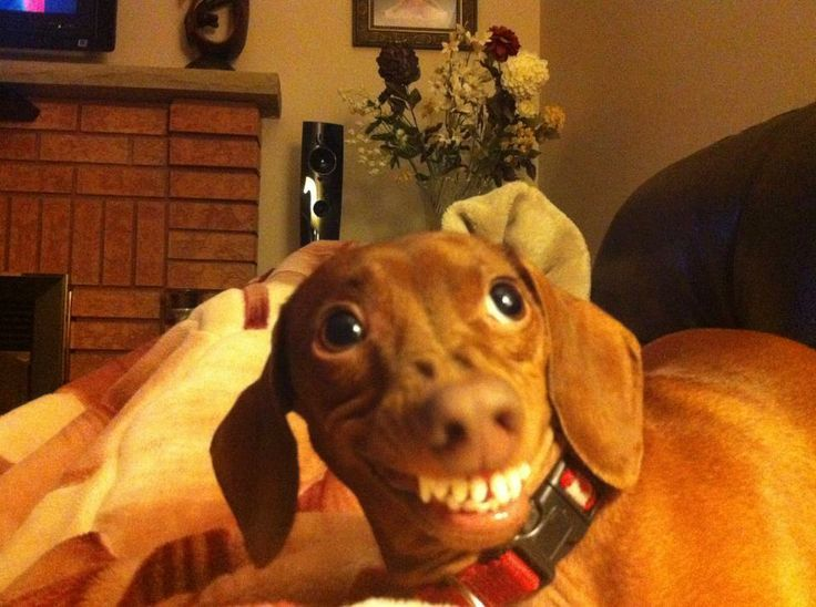 Funny Dachshund Pictures with Captions | Funny Dachshund Pictures with Captions | Caption