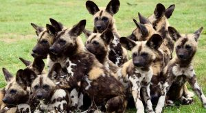 Our painted dog pups have now all been named! Visit us to meet Elvis…
