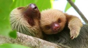 Baby sloth snuggling up to mom cute puppies cats animals