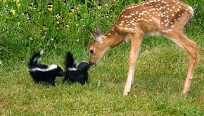"skunks & bambi #Animals explore Pinterest""> #Animals #cats explore Pinterest&..."