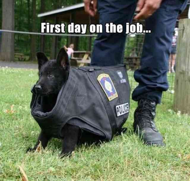 Bloodhound, Puppy, Police Puppies, The New Puppy, Police dog, Training, Cuteness, Service ...