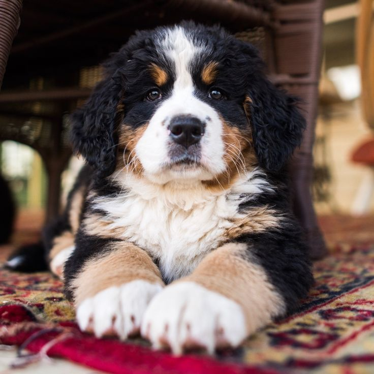 Bernese Mountain Dog (6 w/o), Oley, PA • A sneak preview from my next…