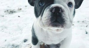 French Bulldog Puppy in the Snow