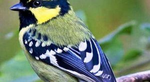 The Indian black-lored tit, Indian tit or Indian yellow tit is a resident breeder…