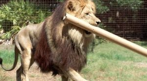 Big cats may look powerful and majestic but this doesn't mean they don't FAIL!...