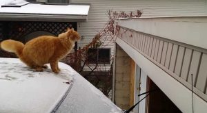Waffles the Cat Tries & Fails to Jump off a Snow-Covered Car