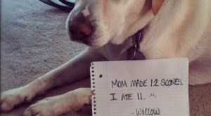 Mom made 12 I ate 11. ~ Dog Shaming shame – Labrador