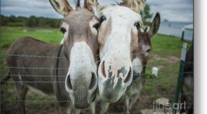 Animal Personalities Two Funny Donkeys Ham It Up For Camera – Metal Print