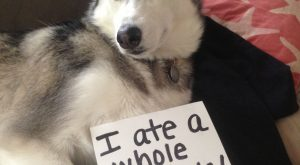 """I ate a whole pineapple!"" ~ Dog shaming shame – Am I the only…"