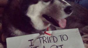 "Funny #Dog explore Pinterest""> #Dog Picture of a Husky that is claiming that he…"