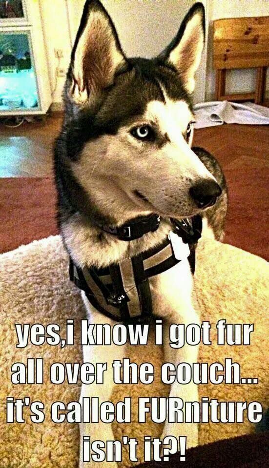 """FUR"" that's what you get with huskies"